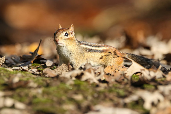 October 29 2017 - Chipmunk
