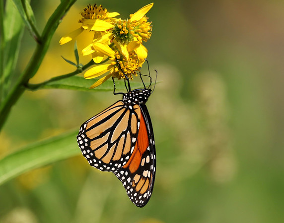 October 9 2017 - Monarch Butterfly