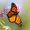 October 1 2017 - Monarch Butterfly