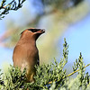 October 21 2017 - Waxwing