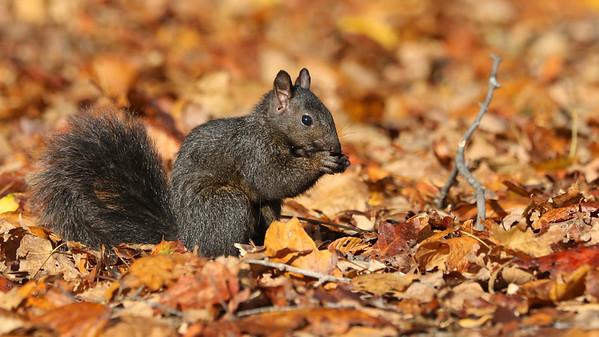 October 14 2017 - Squirrel