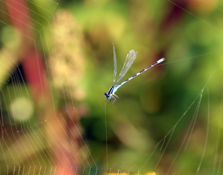 October 6 2017 - Damselfly in Distress