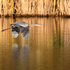October 13 2017 - Great Blue Heron
