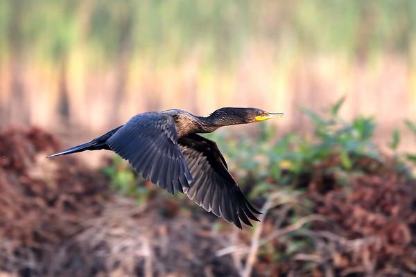 October 11 2017 - Cormorant