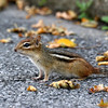 October 2 2017 - Chipmunk