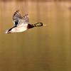 October 15 2017 - Mallard Duck