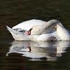 October 7 2017 - Resting Swan