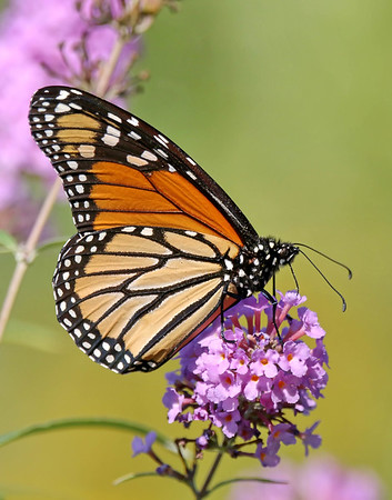 September 28 2017 - Monarch Butterfly