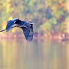 September 25 2017 - Great Blue Heron