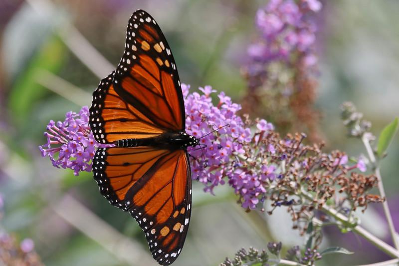 September 5 2017 - Monarch Butterfly