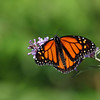 September 17 2017 - Monarch Butterfly