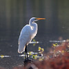 September 2 2017 - Sunrise Egret
