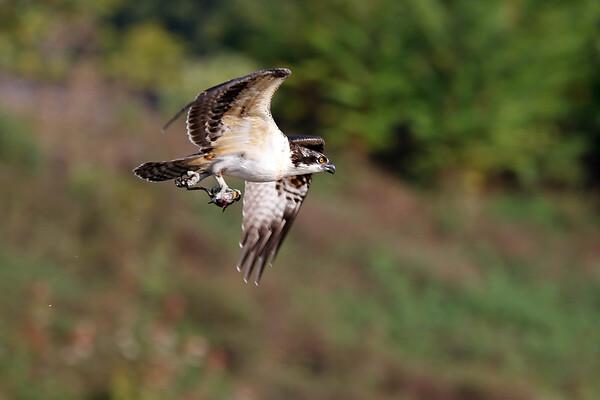September 22 2017 - Osprey