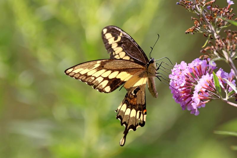 September 1 2017 - Swallowtail