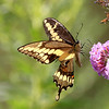 September 1 2017 - Swallowtail