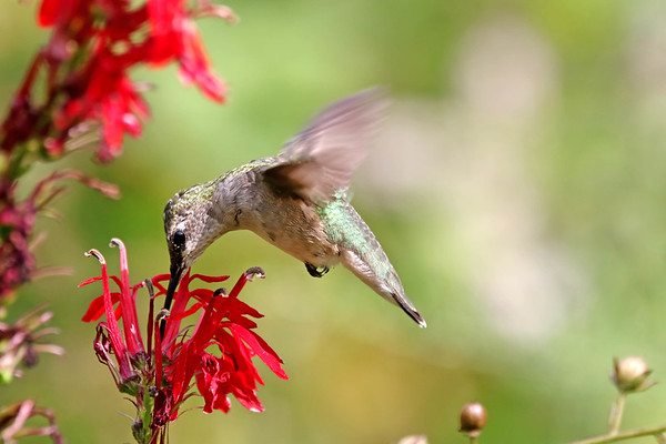 September 3 2017 - Hummingbird