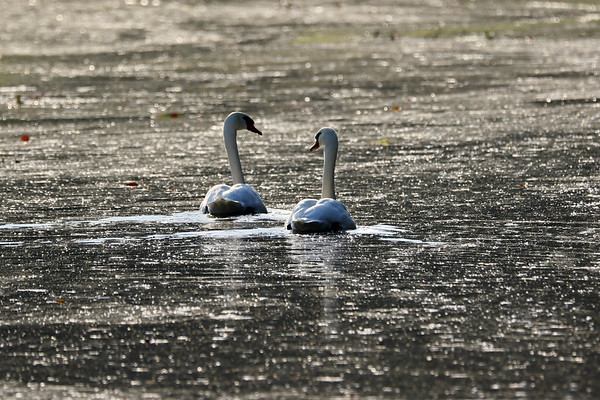 September 29 2017 - Sunrise Swans