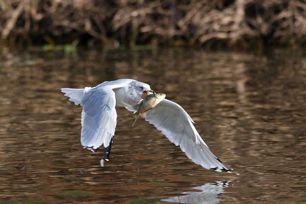 September 19 2017 - Gull with Fish