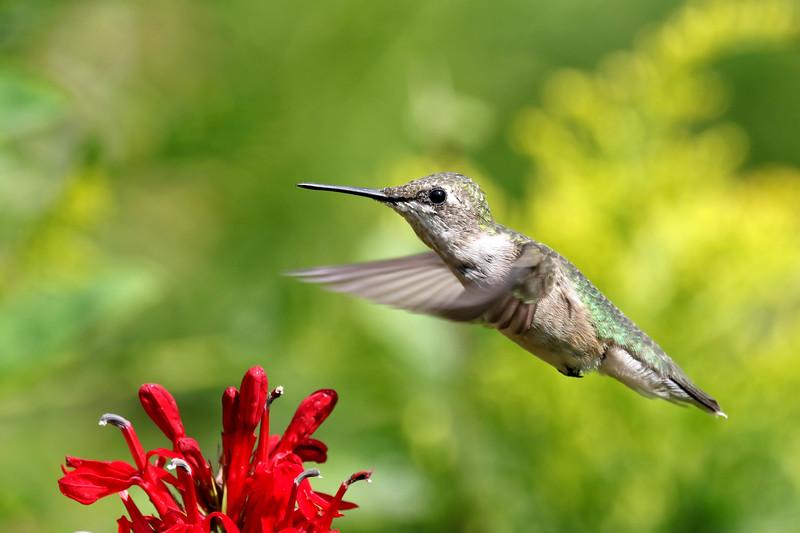 September 7 2017 - Hummingbird