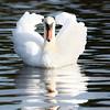 September 18 2017 - Mute Swan
