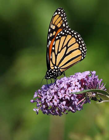 September 21 2017 - Monarch Butterfly