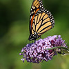 September 21 2017 - Monarch Butterfly