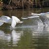 September 23 2017 - Mute Swans