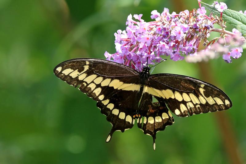 September 8 2017 - Swallowtail