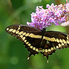 September 8 2017 - Swallowtail
