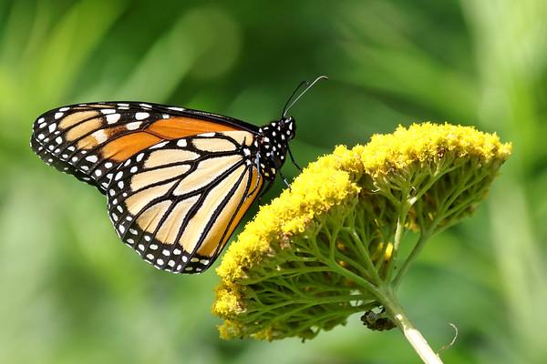September 13 2017 - Monarch Butterfly