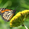 September 13 2017 - Monarch Butterfly