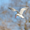 April 30 2018 - Caspian Tern