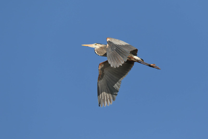 April 26 2018 - Great Blue Heron