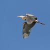 April 26 2018 - Great Blue Heron