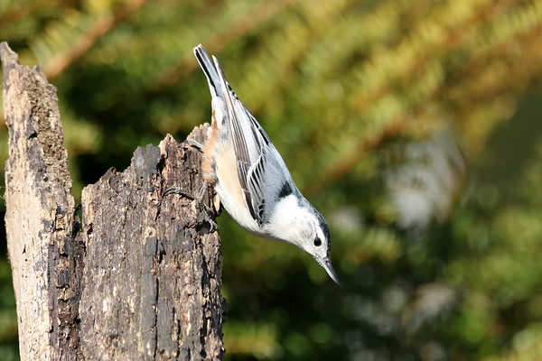 April 10 2018 - Nuthatch