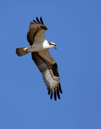 April 29 2018 - Osprey