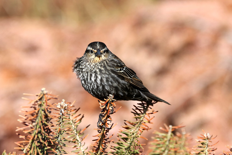 April 28 2018 - Female Red-Winged Blackbird