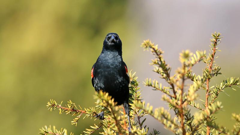 April 2 2018 - Red-Winged Blackbird