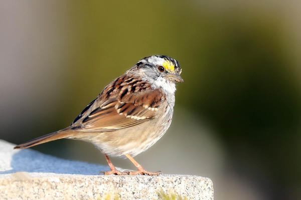 April 9 2018 - White-throated Sparrow