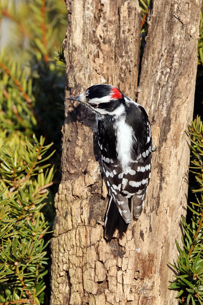 April 6 2018 - Downy Woodpecker