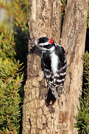 April 6 2018 - Downy Woodpecker