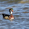 April 1 2018 - Wood Duck