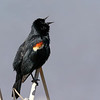 April 22 2018 - Red-Winged Blackbird