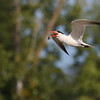 August 20 2018 - Caspian Tern