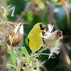 August 27 2018 - Goldfinch