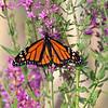 August 52018 - Monarch Butterfly