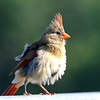 August 10 2018 - Female Northern Cardinal