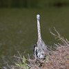 August 11 2018 - Up Periscope Heron
