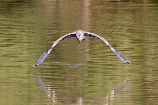 August 28 2018 - Great Blue Heron