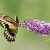 August 21 2018 - Swallowtail